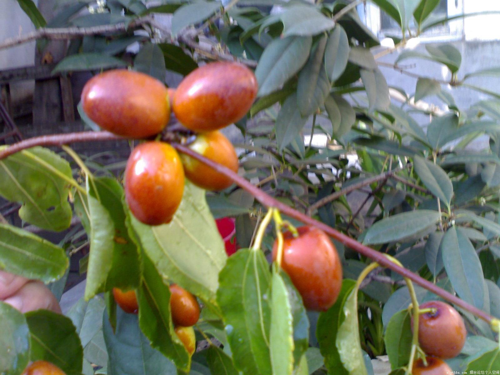 老枣树 无花果树 葡萄树,因搬迁求移栽 172烟台论坛172