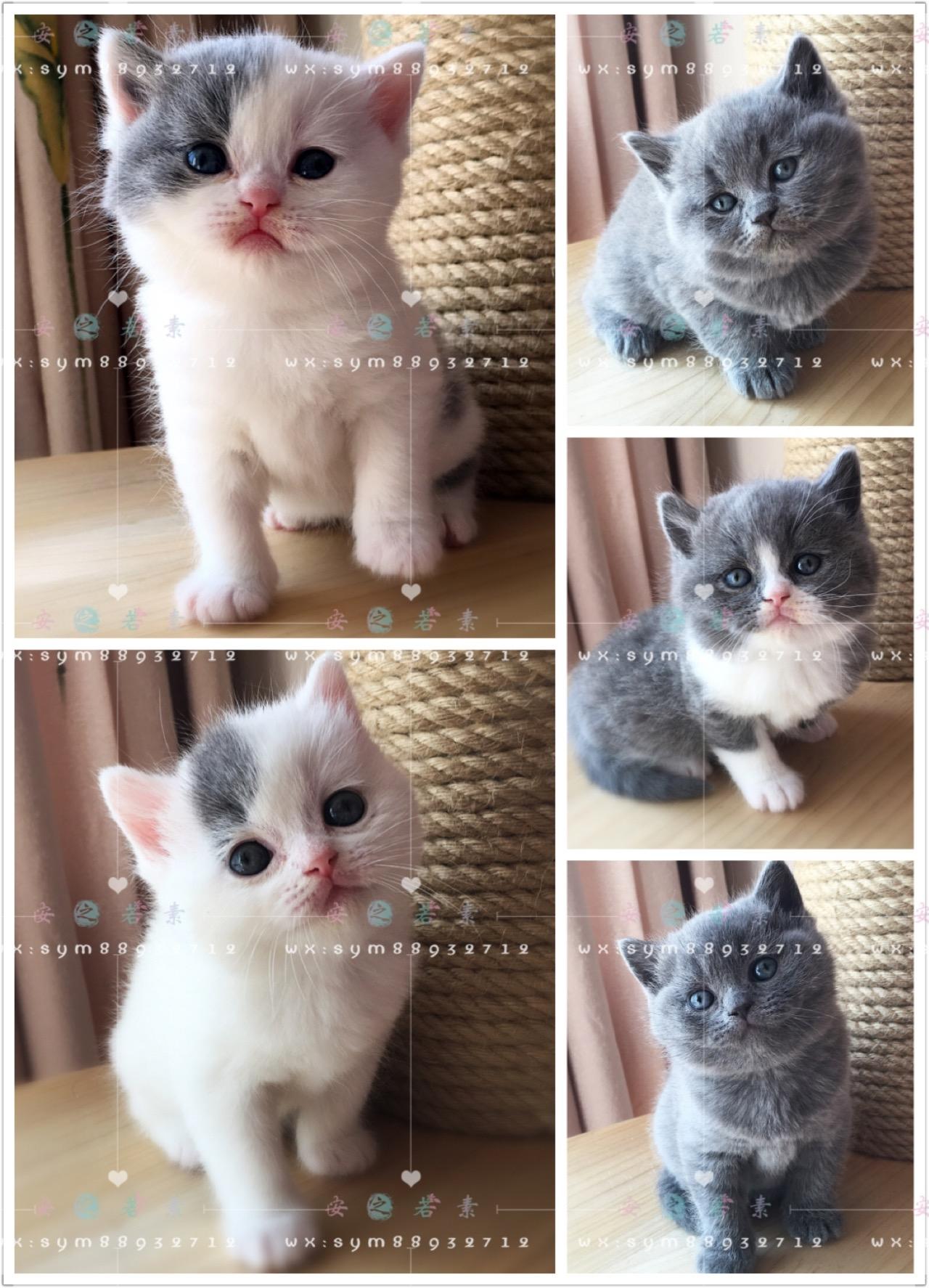 烟台论坛-烟台社区-英短蓝白@新生高品英短猫,蓝白双