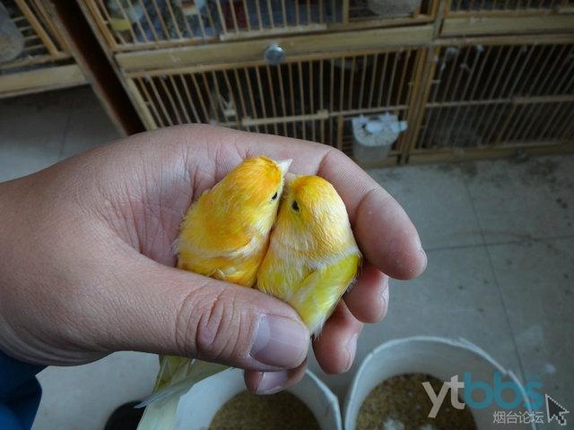 出几只鸟,有小黑白,金青,蜡黄,画眉等