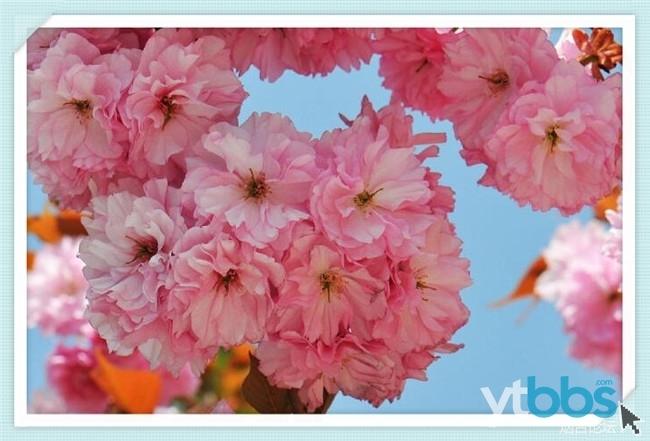 【自游团】4月30日赤山赏樱花看海草房118元/人,赴一场花与海的盛筵!