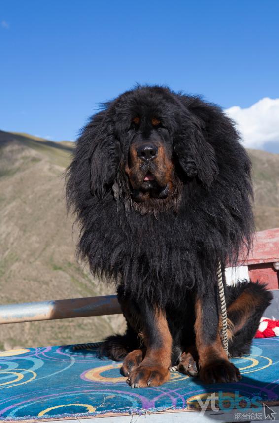 威猛的藏狮犬.png