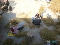 阳光下的收稻人