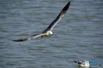 烟台山下-海鸥